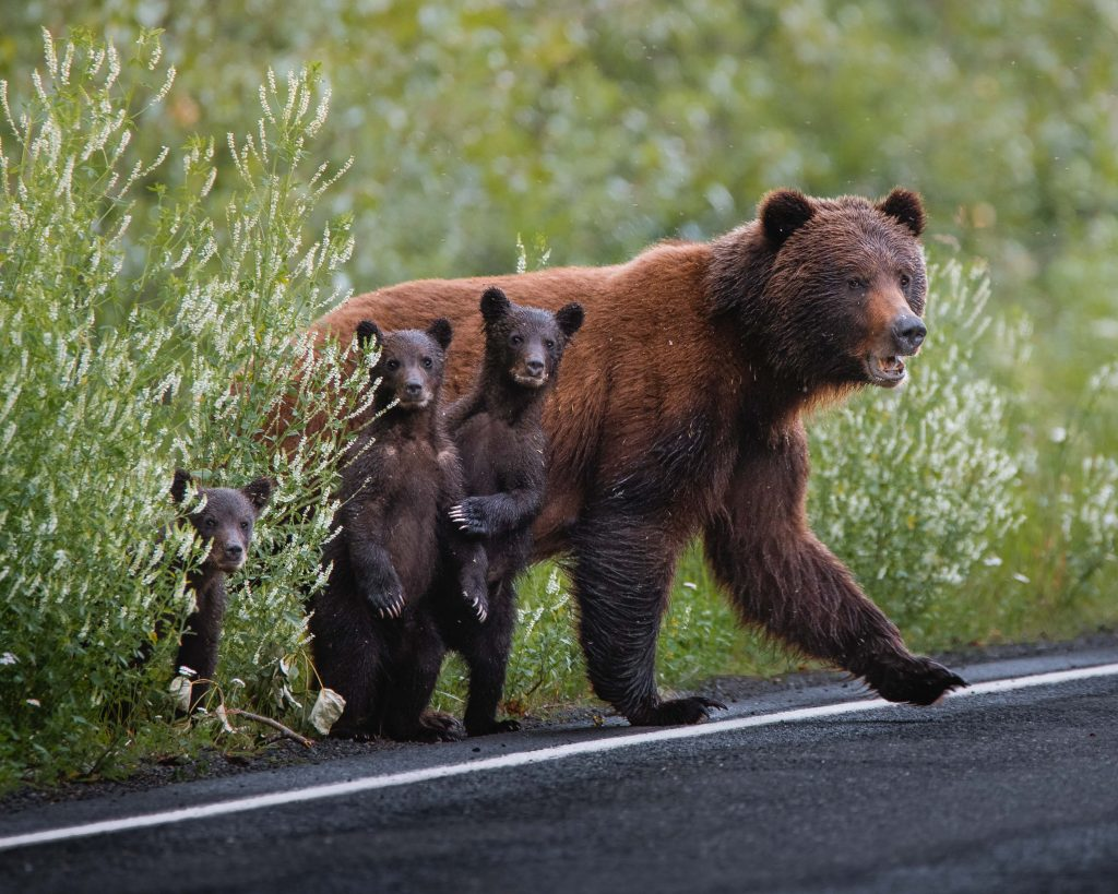 grizzly bear cubs wildlife photography